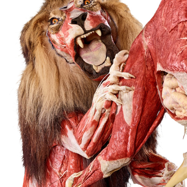 Löwe Icke auf Jagd