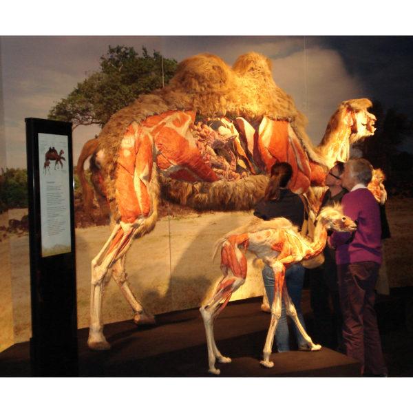 Kamel mit kleinem Kamel