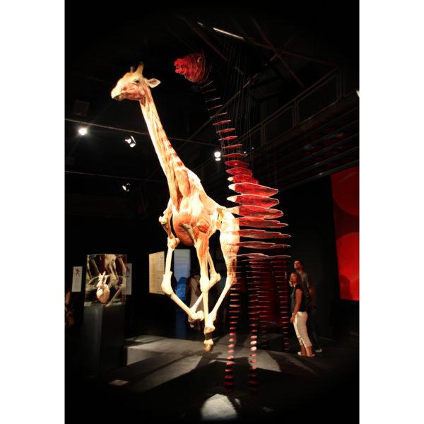 Die rennende Giraffe