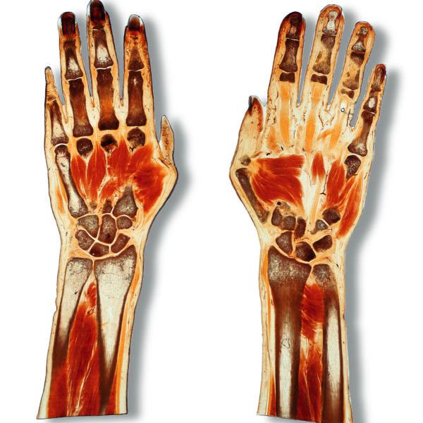 Querschnitt der Hände
