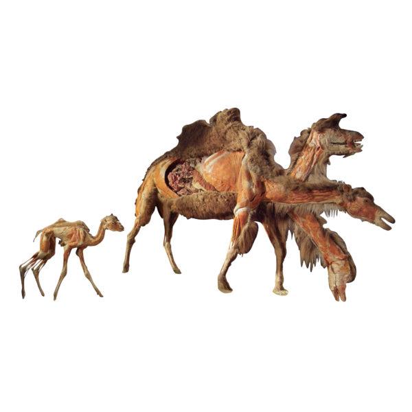 Großes Kamel mit kleinem Kamel
