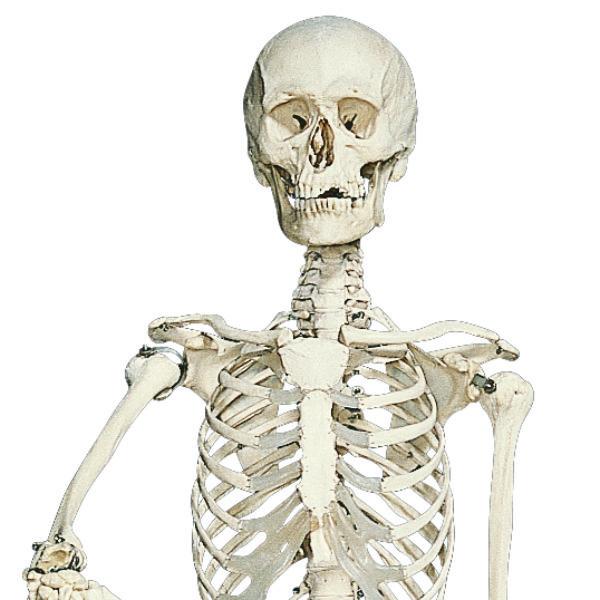 Stehendes Skelett